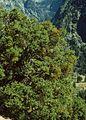 Phoradendron serotinum tomentosum 2.jpg
