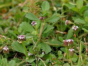 Verbenaceae - Frog fruit (Phyla nodiflora)
