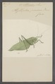 Phylloptera - Print - Iconographia Zoologica - Special Collections University of Amsterdam - UBAINV0274 066 01 0022.tif