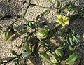 Physalis crassifolia-- Thickleaf Ground-cherry (27784636831).jpg