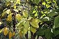 Phytolacca dioica 13zz.jpg