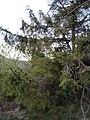 Picea abies, Biodiverzitet planine Rtanj, Serbia 01.jpg