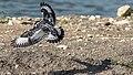 Pied kingfisher (Ceryle rudis) 3.jpg