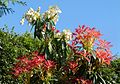 Pieris...before the frost - Flickr - gailhampshire.jpg