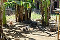 Pigs and chickens in Lovina, Bali.jpg