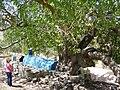 PikiWiki Israel 5132 pistacia atlantica.jpg