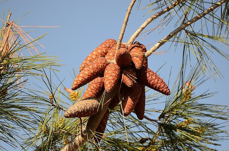 איצטרובלים של עץ אורן