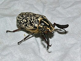 Pine Chafer (Polyphylla fullo) male (8333968376).jpg