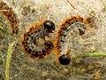 Pine Processionary-moth Caterpillars (32178551856).jpg