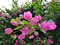 Pink Bougainvillea Glabra.jpg