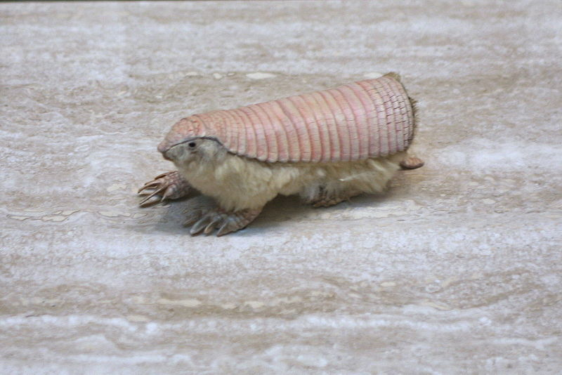 https://upload.wikimedia.org/wikipedia/commons/thumb/2/21/Pink_Fairy_Armadillo_%28Chlamyphorus_truncatus%29.jpg/800px-Pink_Fairy_Armadillo_%28Chlamyphorus_truncatus%29.jpg