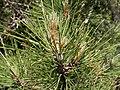 Pinus nigra salzmannii fg04.jpg