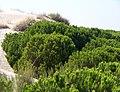 Pinus pinea in dunes Doñana.jpg