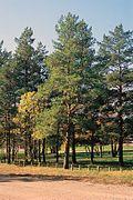 Pinus sylvestris tree.jpg
