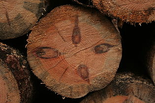 Pinus trunk 345.jpg