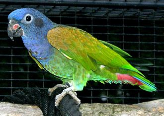 Blue-headed parrot - Image: Pionus menstruus in captivity