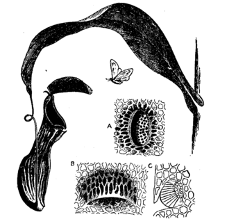 Pitcher plant - Pitcher of Nepenthes distillatoria. A: Honey-gland from attractive surface of lid. B: Digestive fluid from interior of pitcher, in pocket-like depression of epidermis, opening downwards. C: Traverse section same.