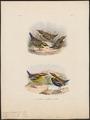 Pitta guajana - 1863-1876 - Print - Iconographia Zoologica - Special Collections University of Amsterdam - UBA01 IZ16400243.tif