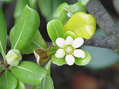 Pittosporum tobira1.jpg