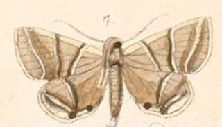 <i>Rejectaria</i> Genus of moths