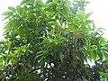 Plant Ehretia acuminata DSCN8670 01.jpg