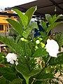 Plants at Bijalinagar 09.jpg