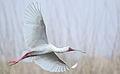 Platalea alba - Marievale Nature Reserve (21411648098).jpg