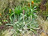 Pleurophyllum hookeri.jpg