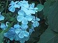 Plumbago auriculata flowers.jpg