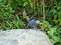 Plumbeous Water Redstart - Rhyacornis fuliginosa - P1060578.jpg