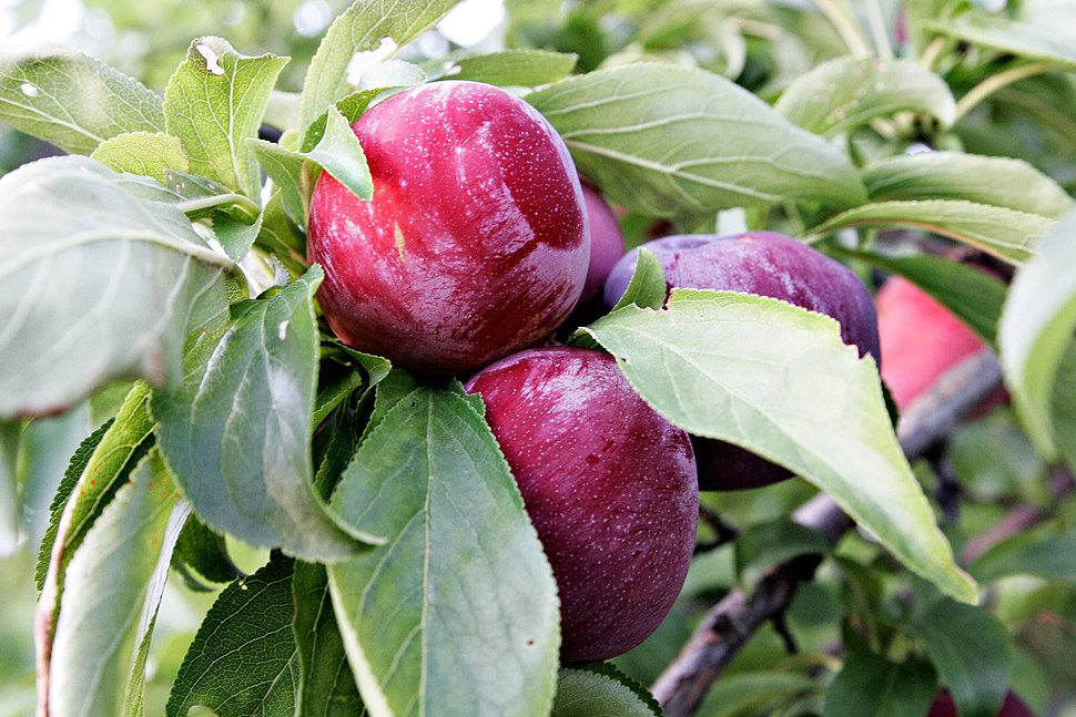 Plums in tree
