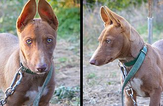Andalusian Hound - Andalusian hound (front-side)