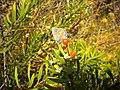 Polyommatus bellargus 2601.jpg