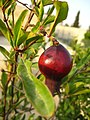 Pomegranate (4093608394).jpg
