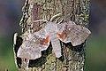Poplar hawk-moth (Laothoe populi populi) 2.jpg