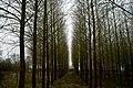Poplars converging.jpg
