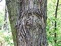 Populus wilsonii a2.jpg