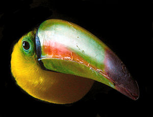Fauna of Belize - The keel-billed toucan is native to Belize.