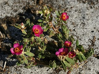 Portulacaceae family of plants