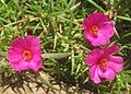 Portulaca grandiflora - pink (4601218106).jpg