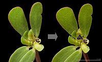 Portulaca oleracea Capsule MHNT.jpg