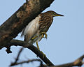 Powai pond heron1 - Flickr - Lip Kee.jpg