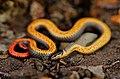 Prairie Ringneck Snake (Diadophis punctatus arnyi).jpg