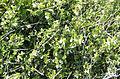 Prasium majus - White hedge-nettle - Çalıbaba 02.jpg