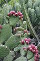 Prickly pears 3.jpg