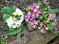 Primula vulgaris.004 - Wick (Gloucestershire).jpg