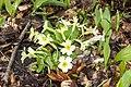 Primula vulgaris 002.jpg