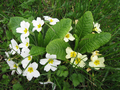 Primula vulgaris white to bright yellow.png