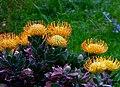 Proteas.Leucospermum cordifolium. (10909411714).jpg