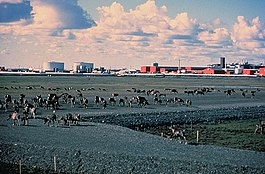 Caribou walk across a gravel pad at Prudhoe Bay, with oilfield facilities in the background.
